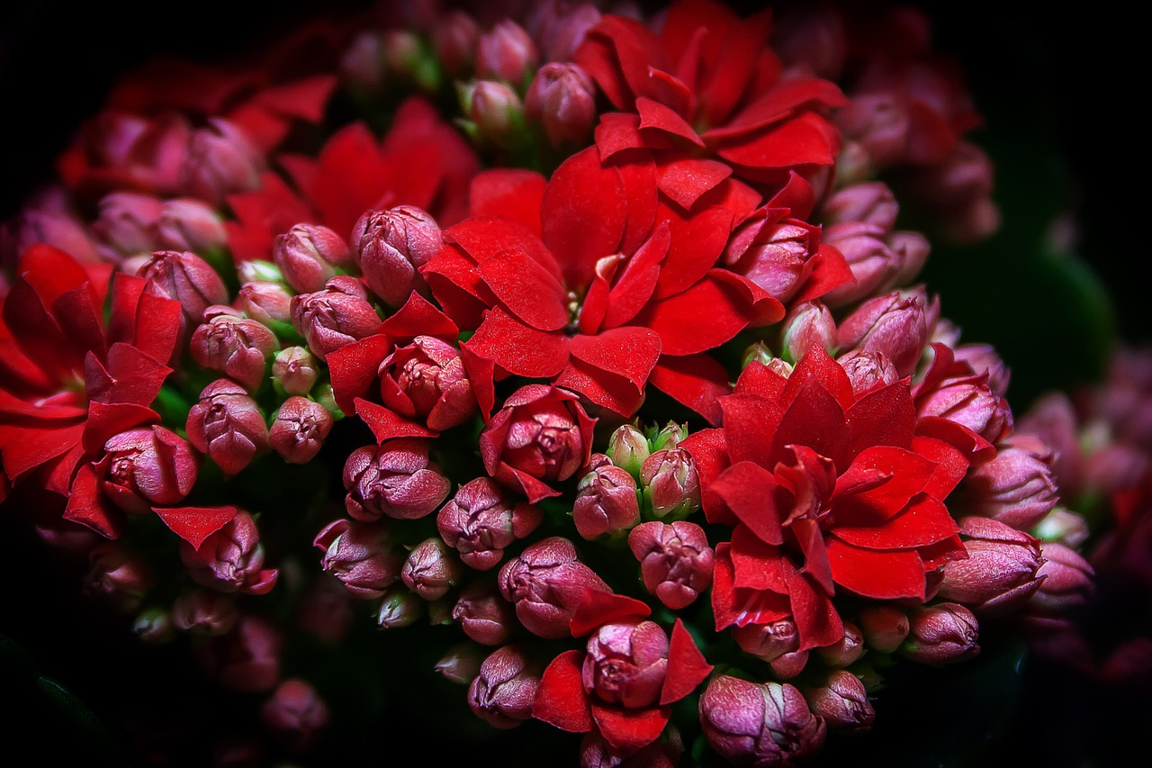 kalanchoe, flaming käthchen, red