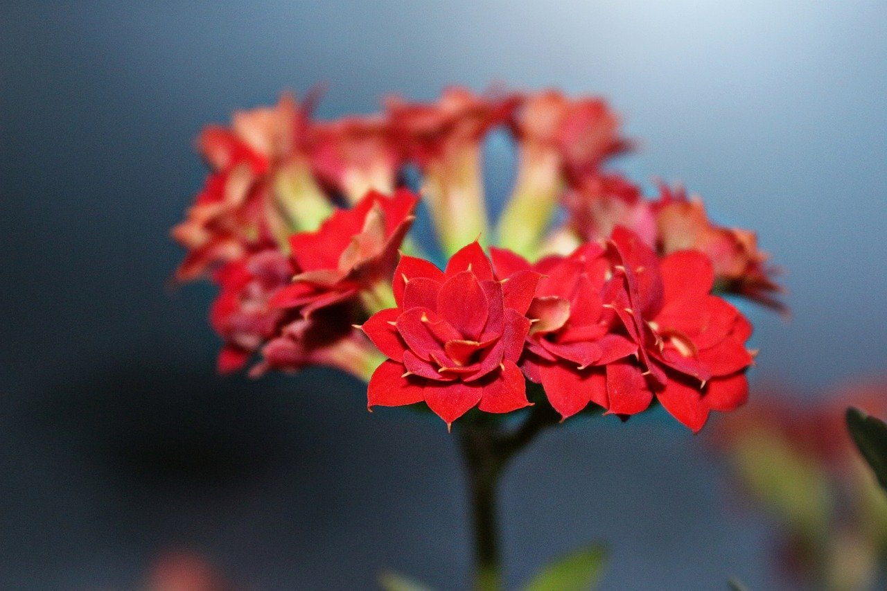 kalanchoe, flowers, spring